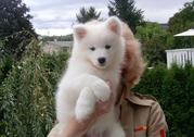lovely samoyed  puppies for rehoming