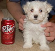 maltese/toypoodle puppy for sale